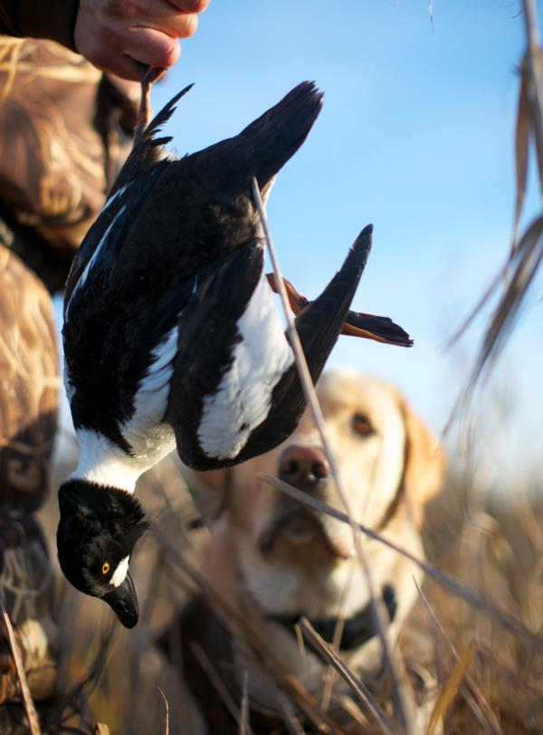 Sea Duck Hunting in California
