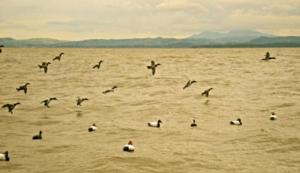 Diver/Sea Duck Hunts